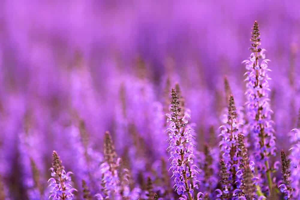 what is oil of spike lavender